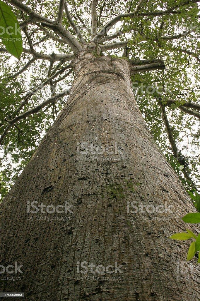Biggest tree. royalty-free stock photo
