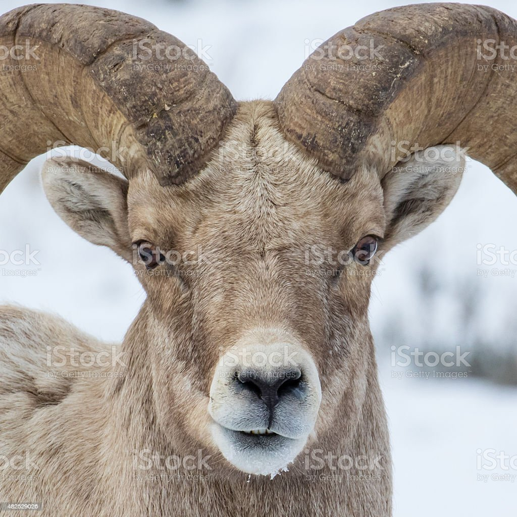 bighorn closeup stock photo
