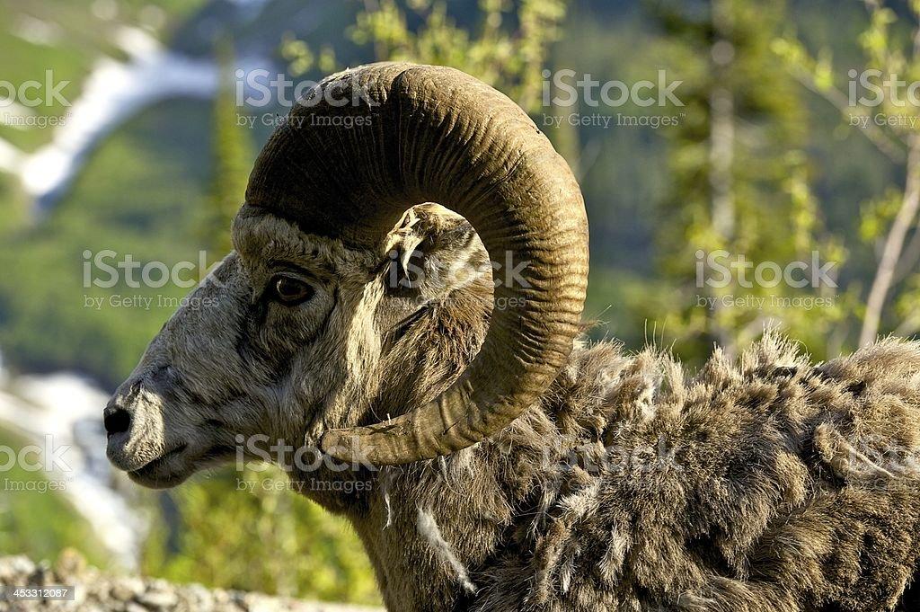 Bighorn Headshot stock photo
