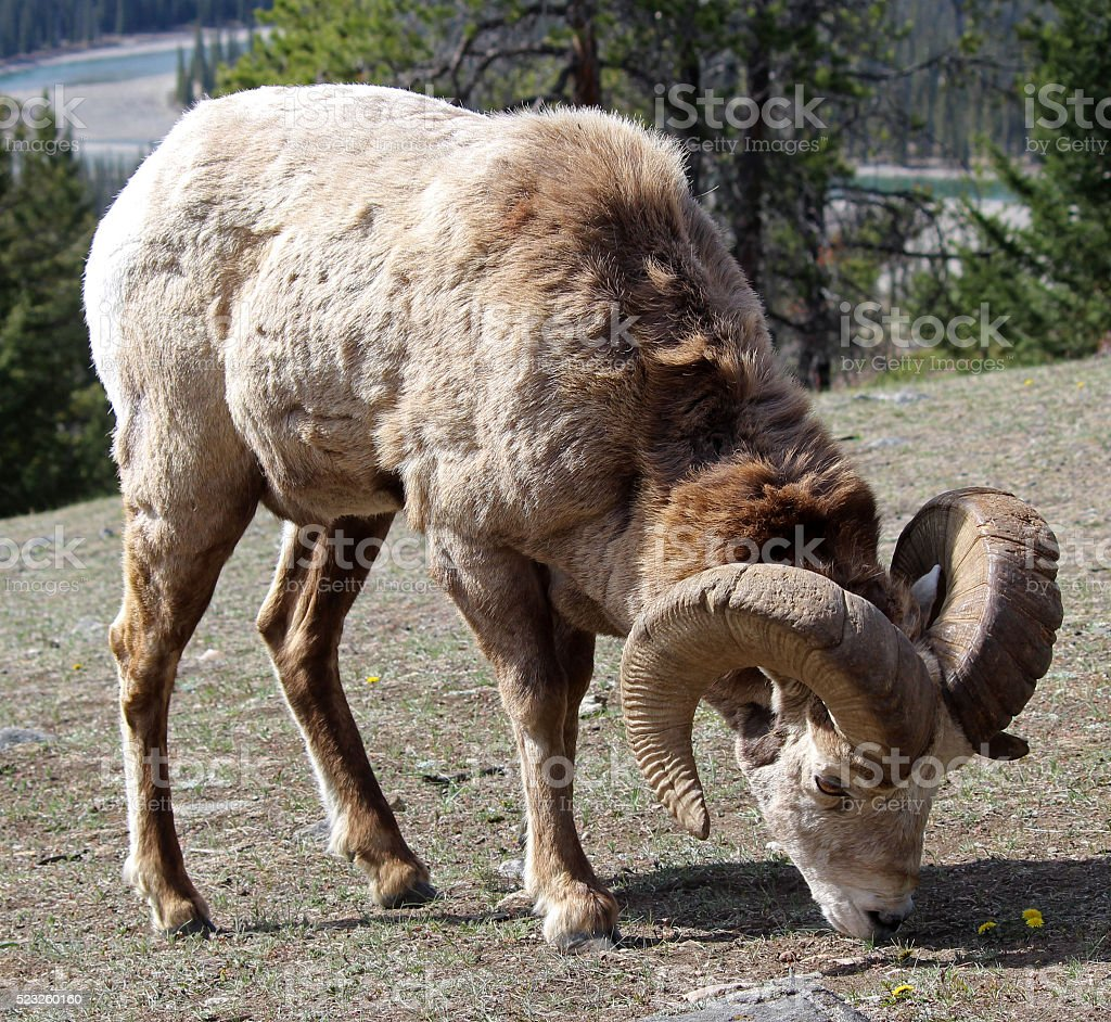 Bighorn Ram Grazing, River Behind stock photo