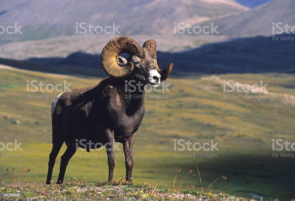 Bighorn Ram in the Alpine stock photo