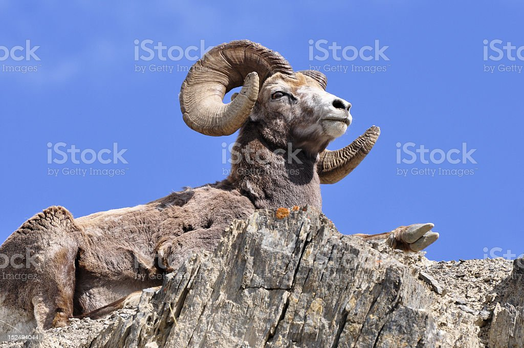 bighorn ram on mountain top stock photo