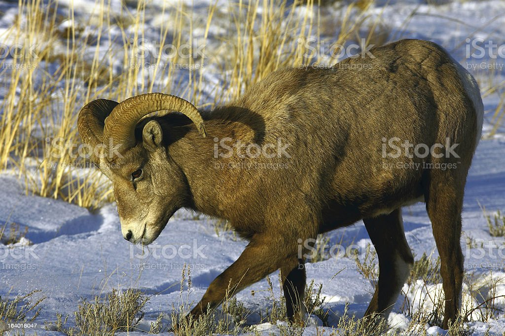 Bighorn Ram Pawing for Food royalty-free stock photo