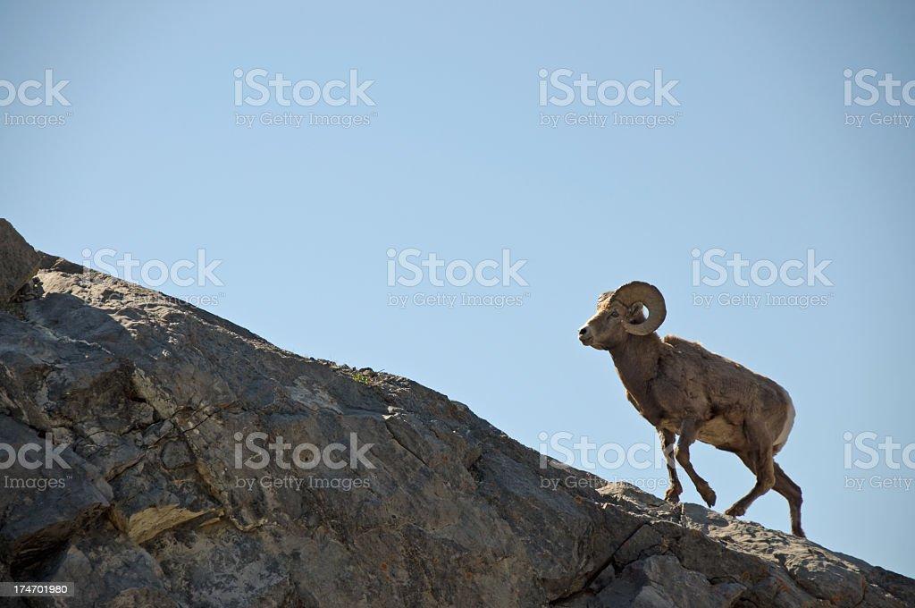 Bighorn Ram Sheep stock photo