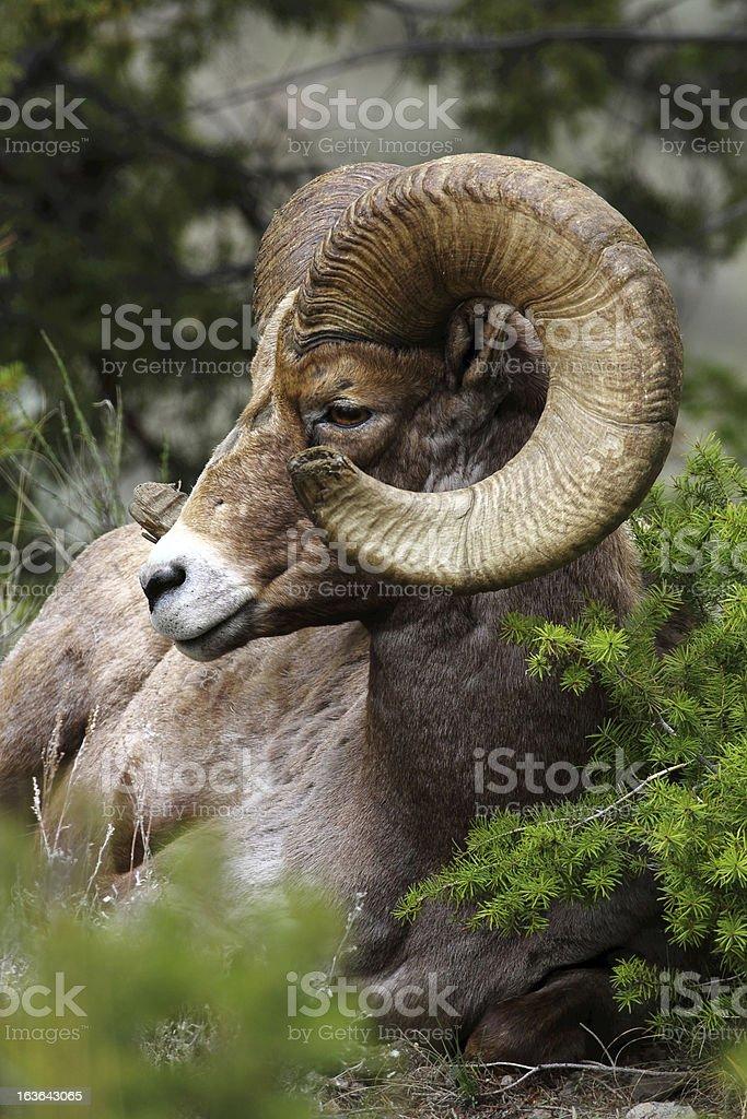 Bighorn Ram Side Profile stock photo