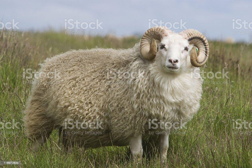 Bighorn Ram whit beautiful wool fur, stock photo