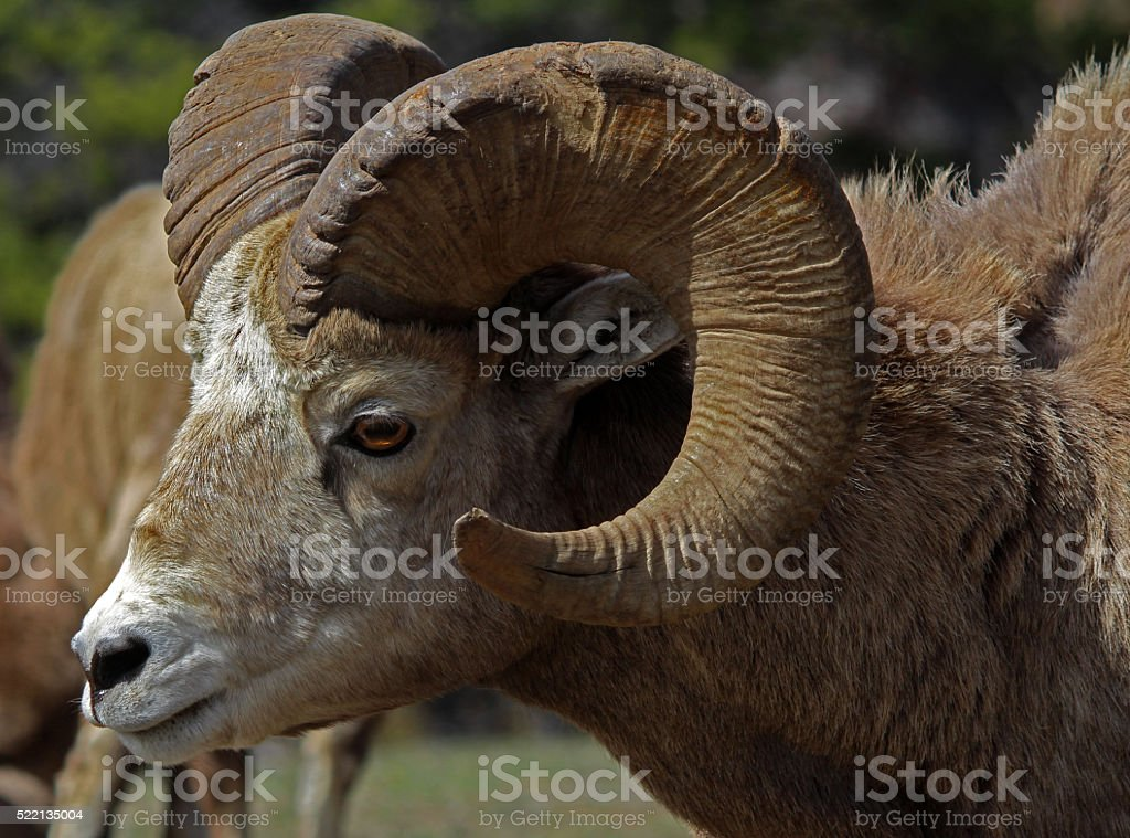 Bighorn Ram With Herd stock photo