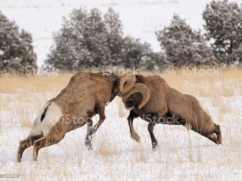 Bighorn Rams butting heads stock photo