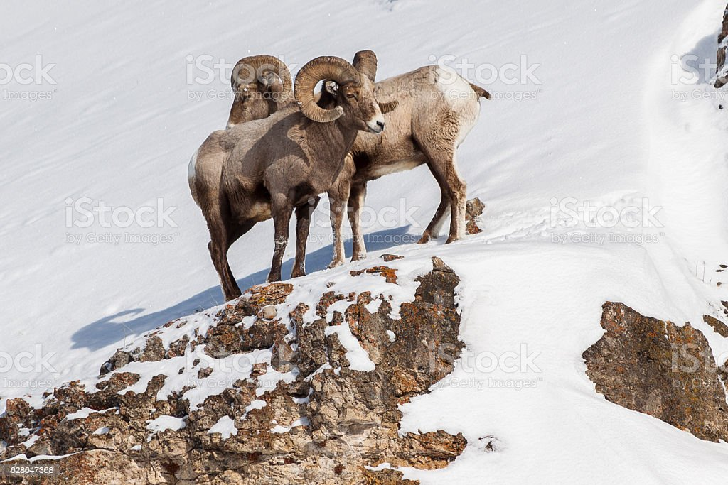 Bighorn Rams in Lamar Valley, Yellowstone National Park. stock photo
