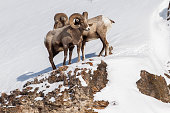 Bighorn Rams in Lamar Valley, Yellowstone National Park.