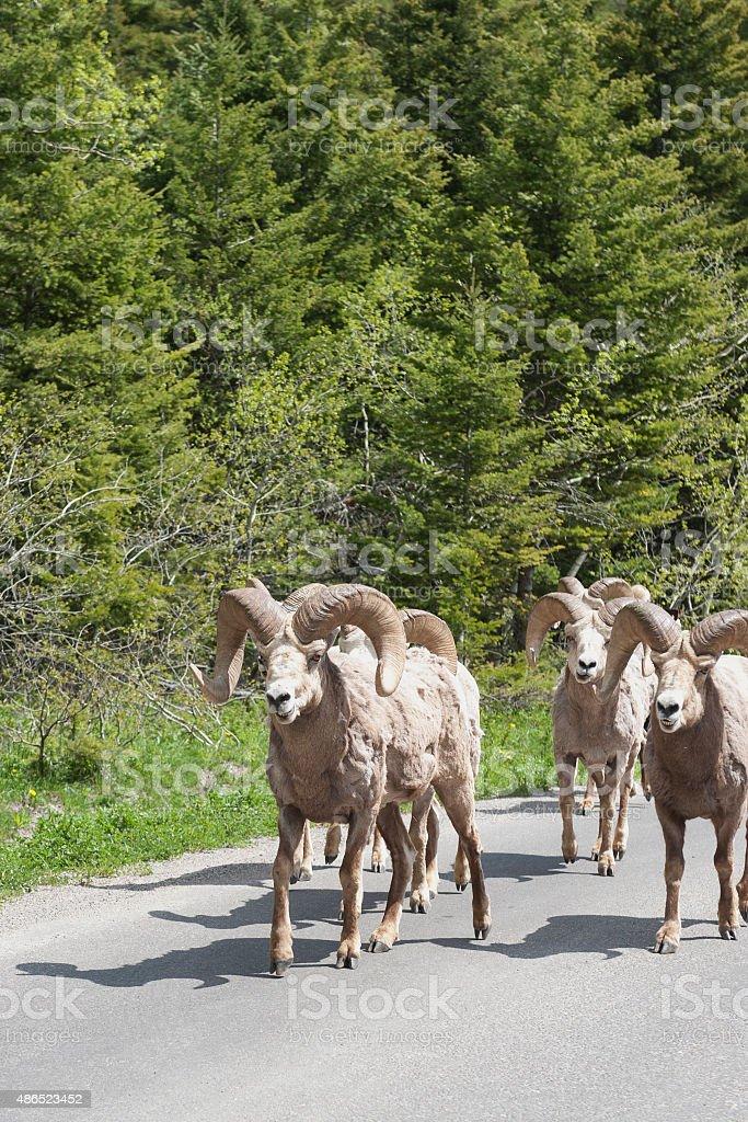 Bighorn Sheep at waterton lakes national park stock photo