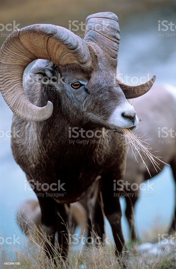 Bighorn sheep, Canadian Rockies stock photo