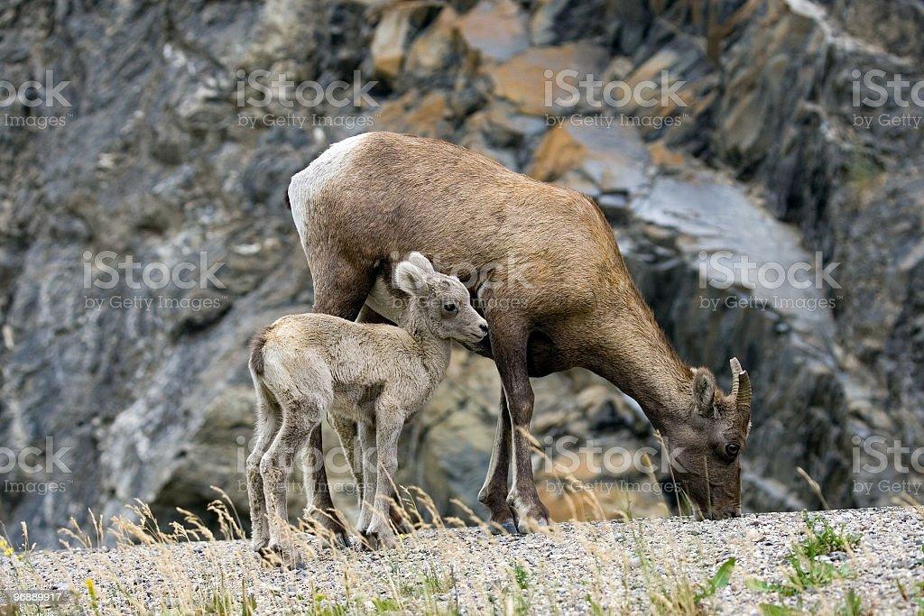 Bighorn Sheep - Ewe and Kid royalty-free stock photo