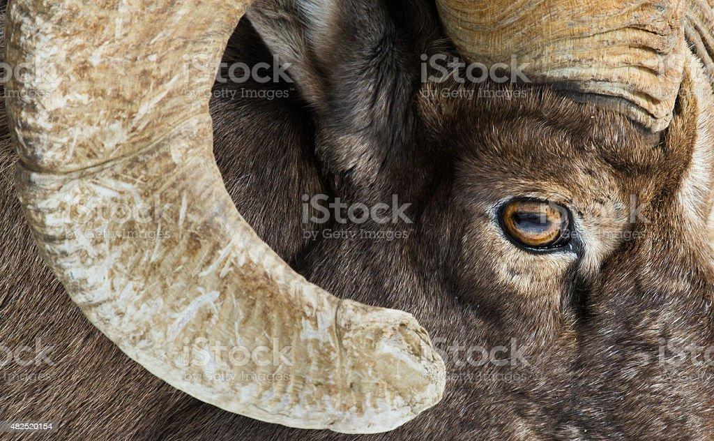 bighorn sheep eye and horn stock photo