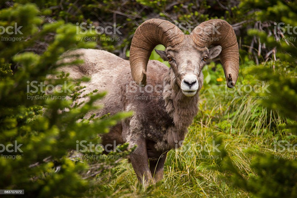 Bighorn Sheep - Glacier National Park stock photo
