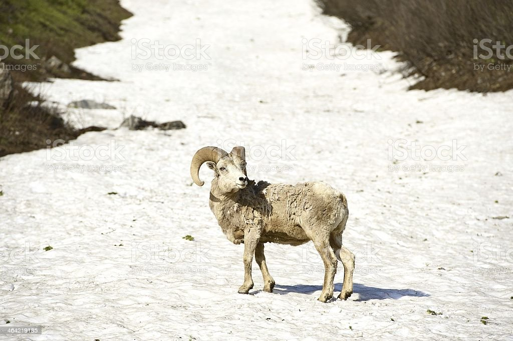 Bighorn Sheep Glacier stock photo