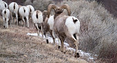 Bighorn sheep herd, walking away