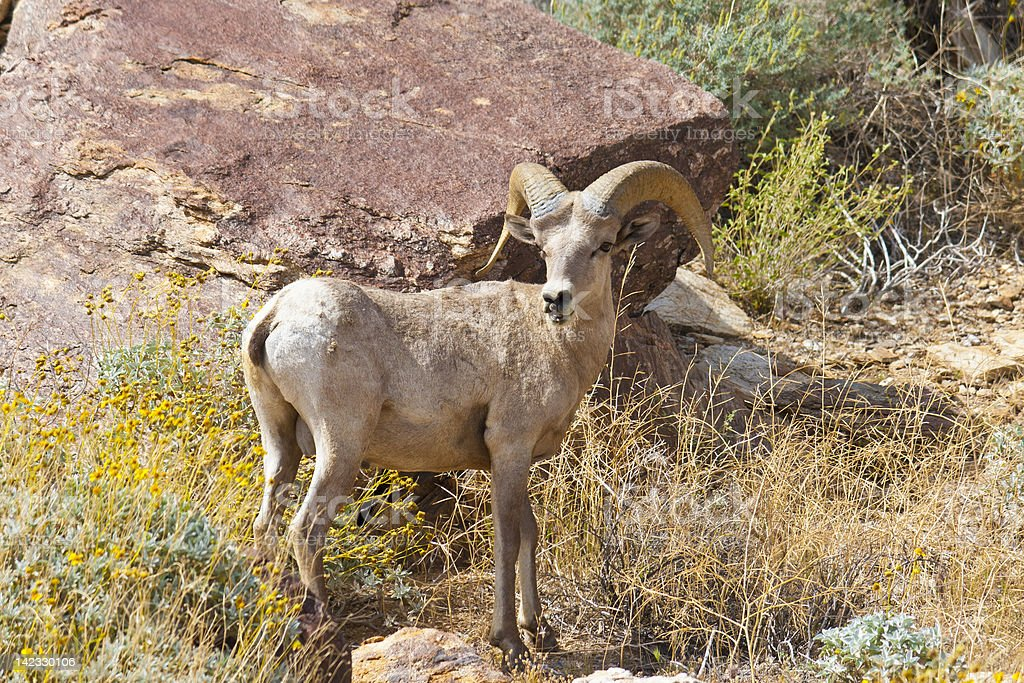 Bighorn Sheep in Anza Borrego Desert. stock photo