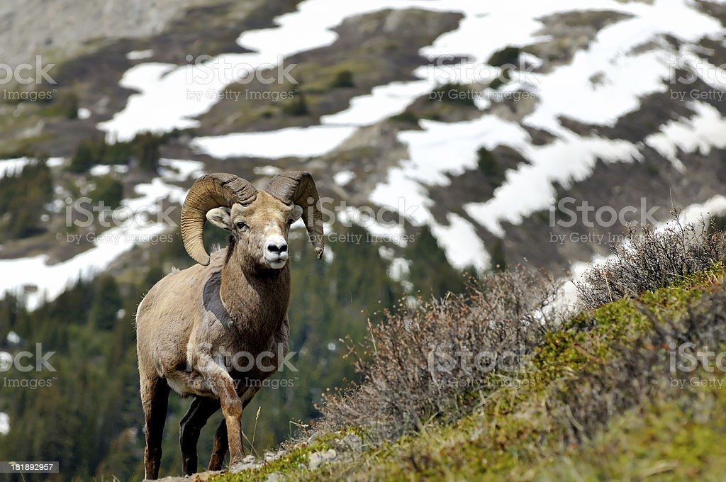 Bighorn sheep in Canadian Rockies, Banff, Canada royalty-free stock photo