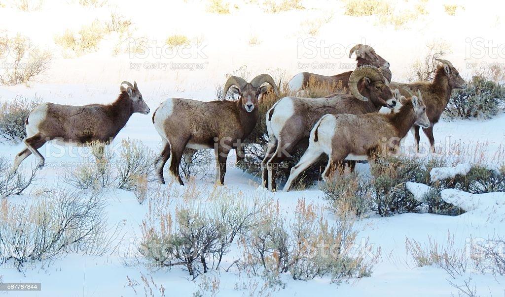 Bighorn Sheep in Snow stock photo