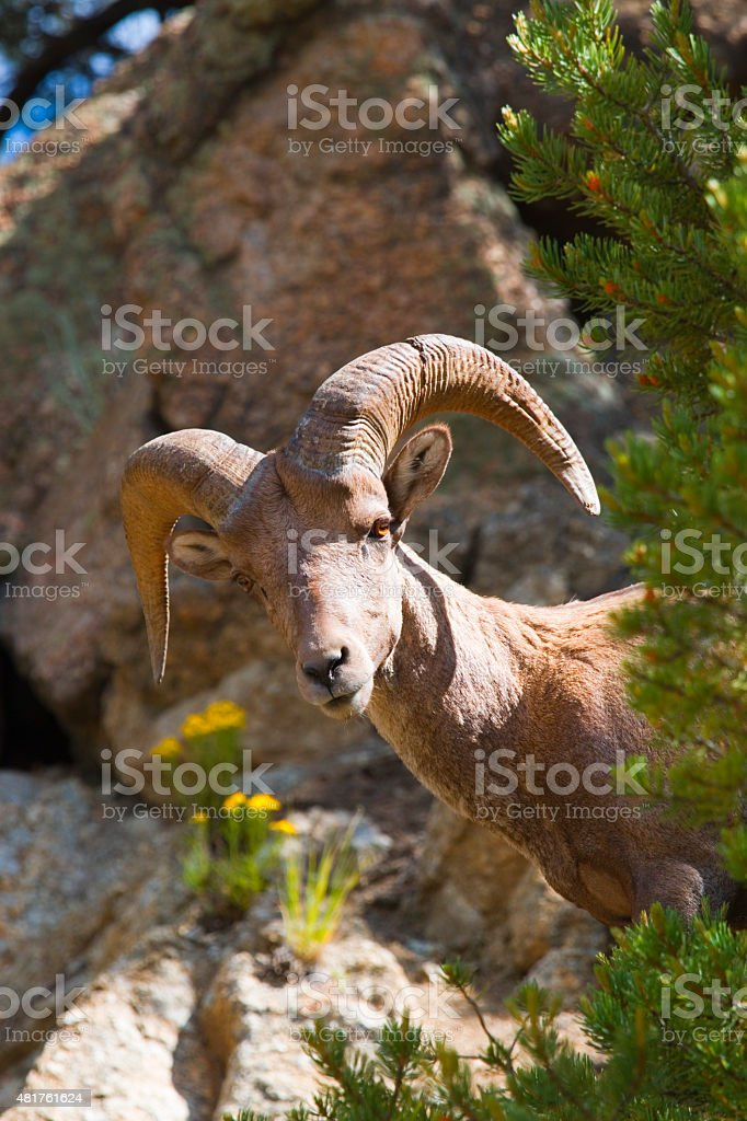 Bighorn Sheep in the San Isabel National Forest stock photo