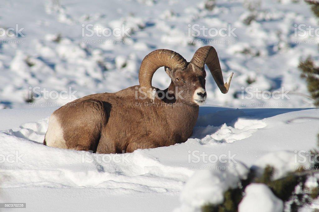 Bighorn Sheep in Yellowstone National Park stock photo