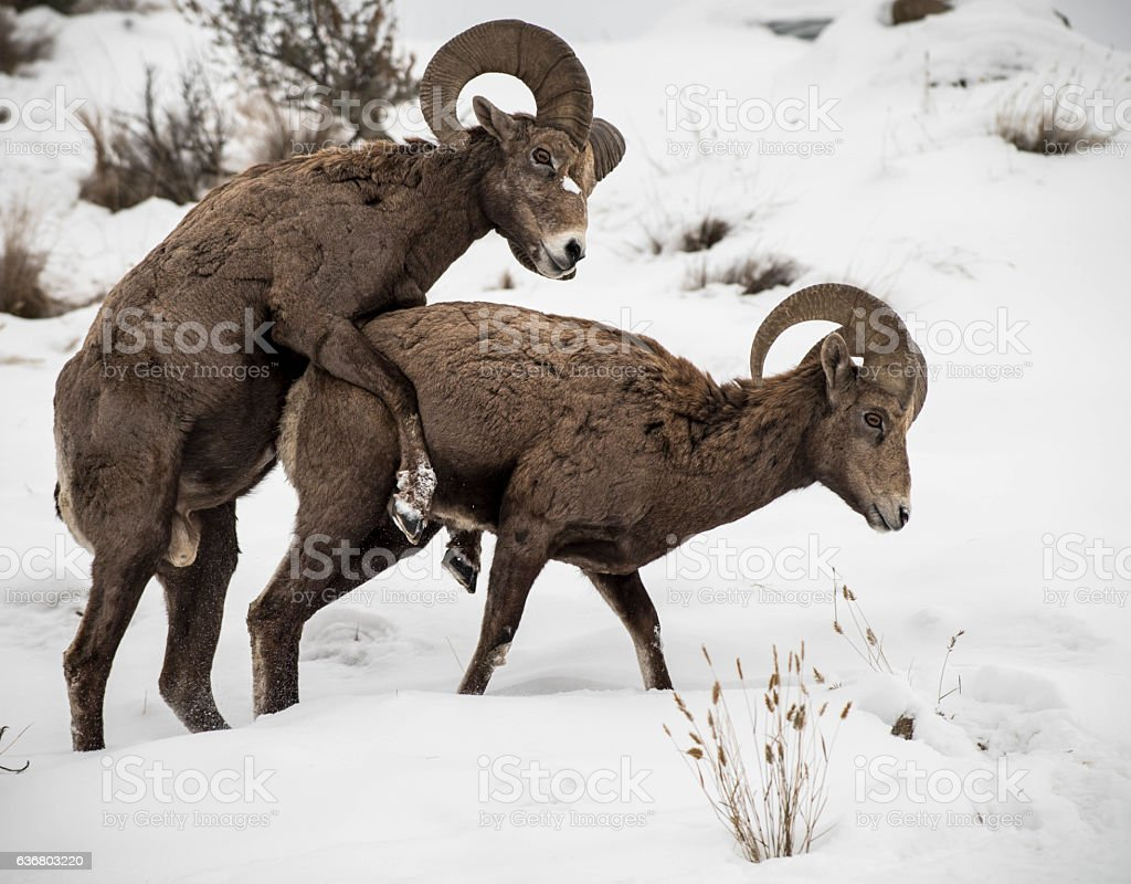 Bighorn sheep mating stock photo