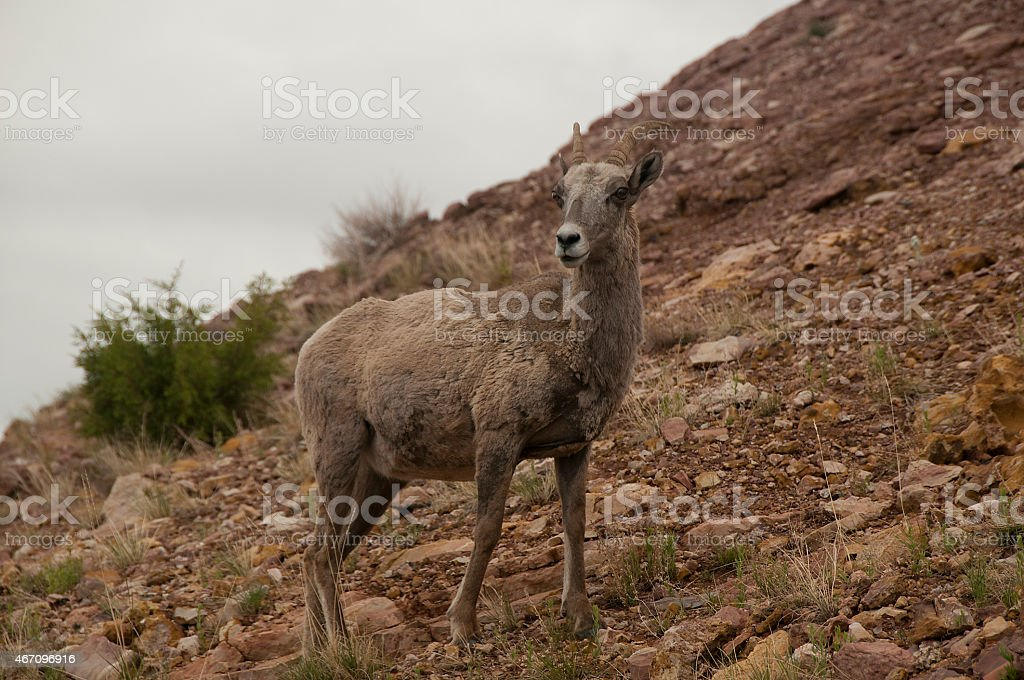 bighorn sheep north american in prior mountains stock photo