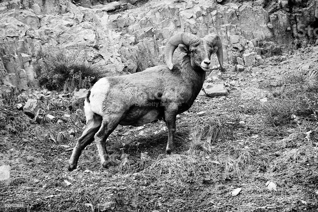 Bighorn Sheep on Cliff Face stock photo