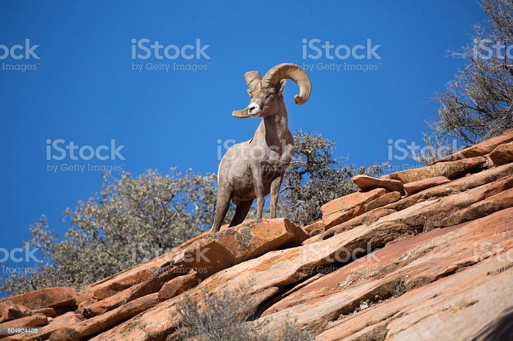 Bighorn sheep on desert mountain stock photo