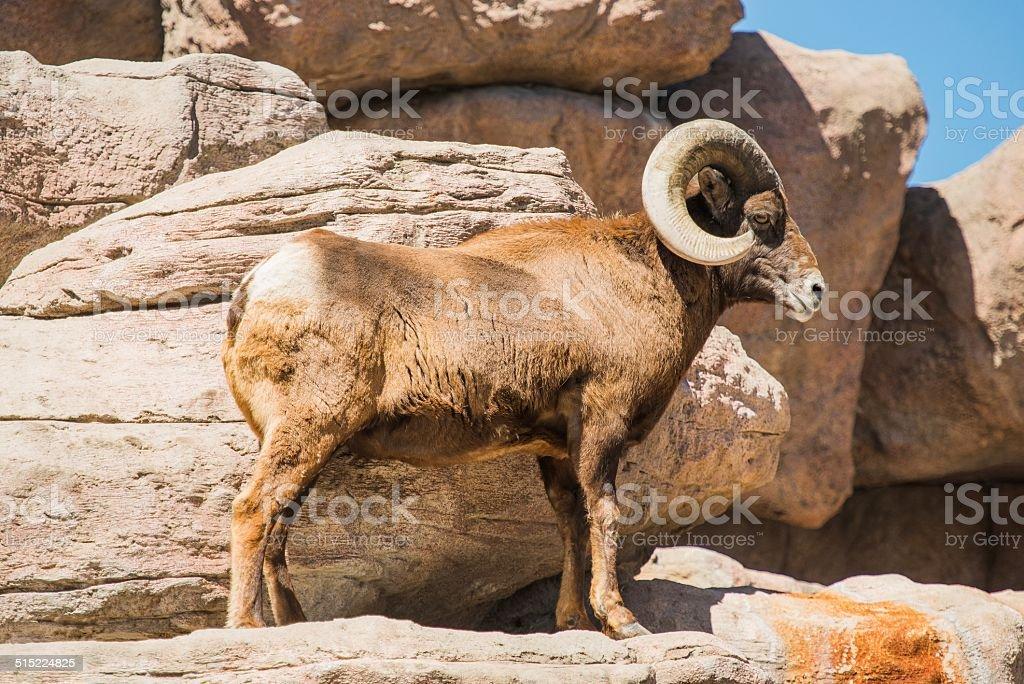 Bighorn Sheep on the Rocks stock photo