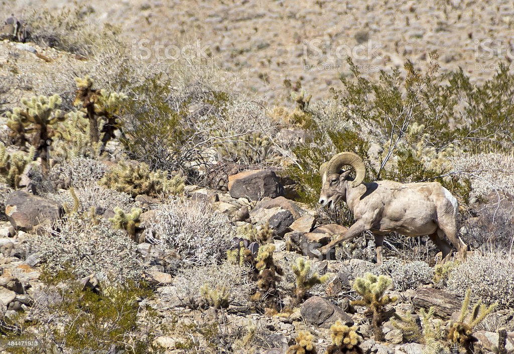 Bighorn Sheep Pawing for Food stock photo