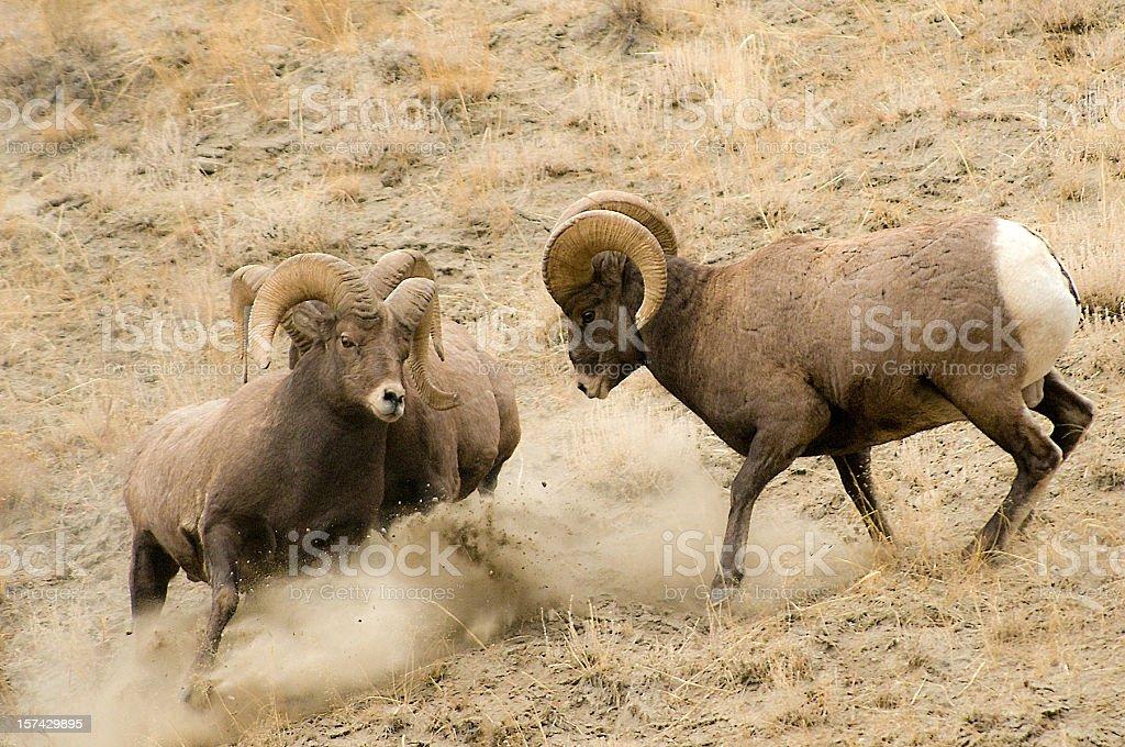 Bighorn Sheep stock photo