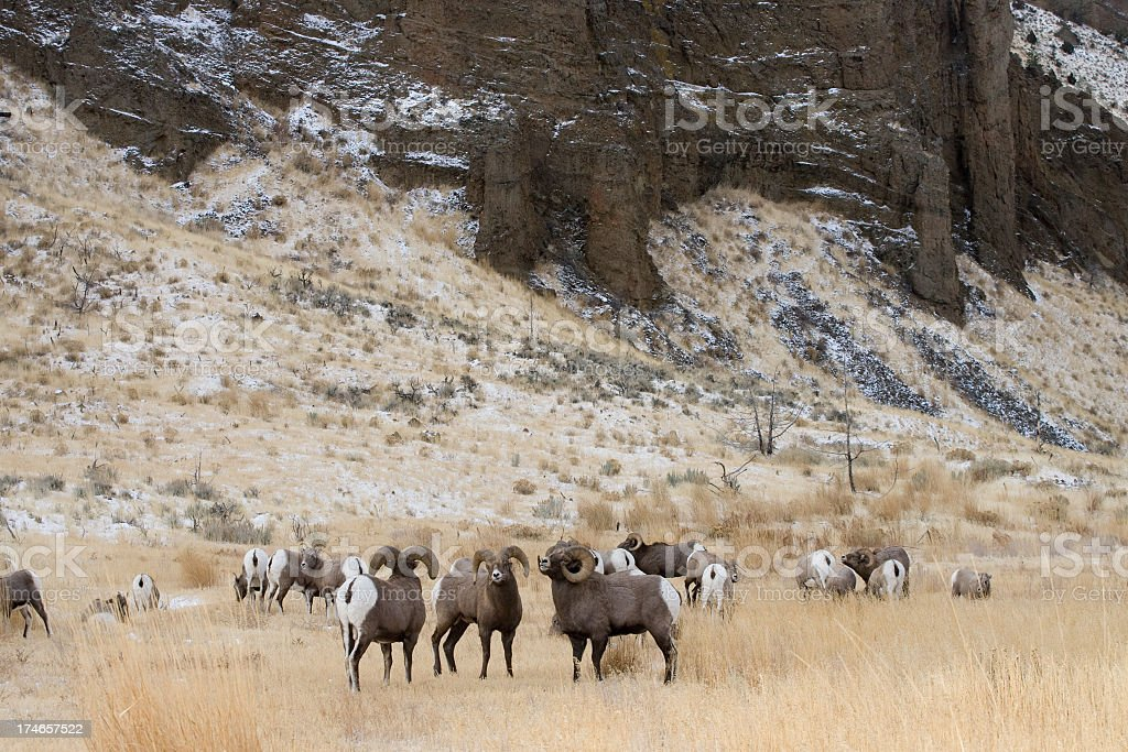 Bighorn Sheep royalty-free stock photo