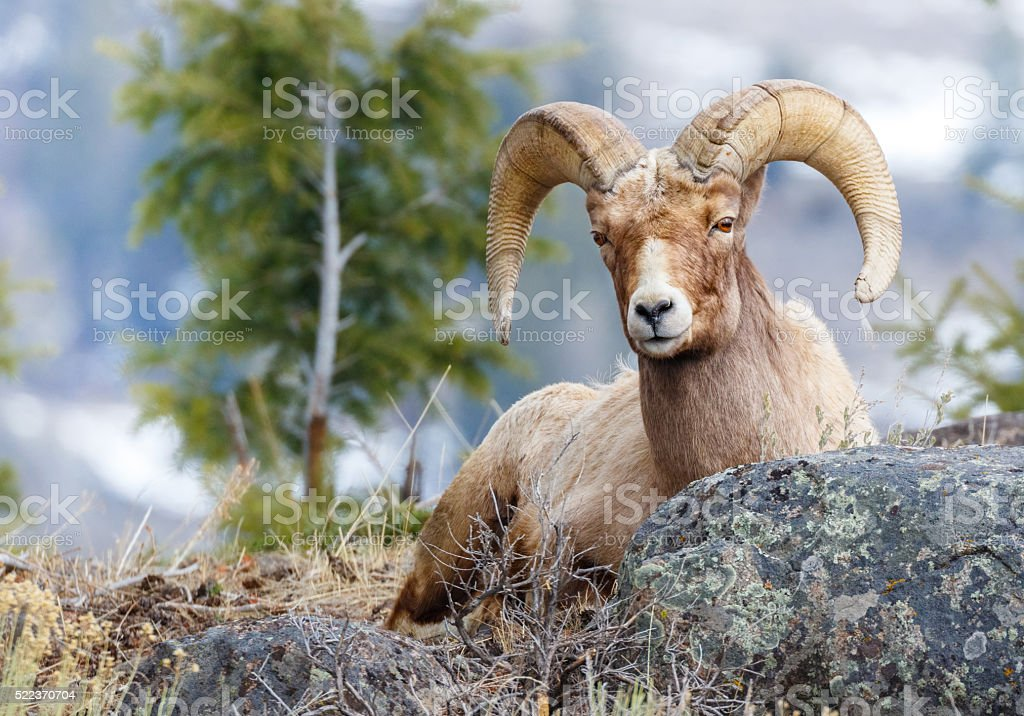 Bighorn Sheep stock photo