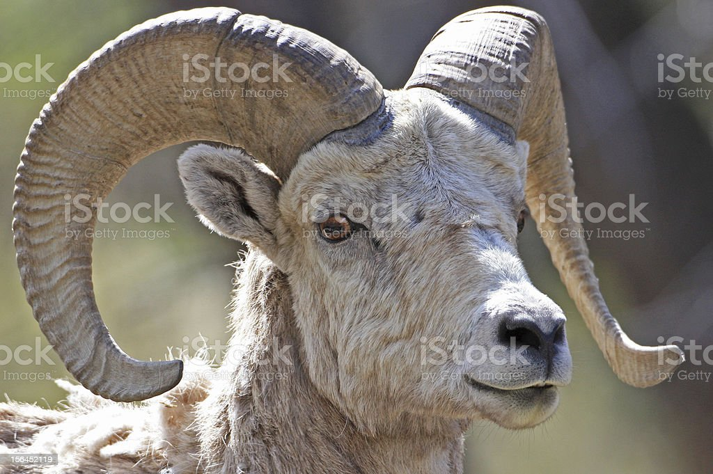 Bighorn Sheep Posing royalty-free stock photo
