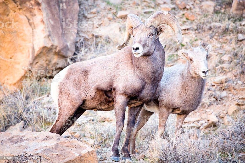 Bighorn Sheep Ram and Ewe stock photo