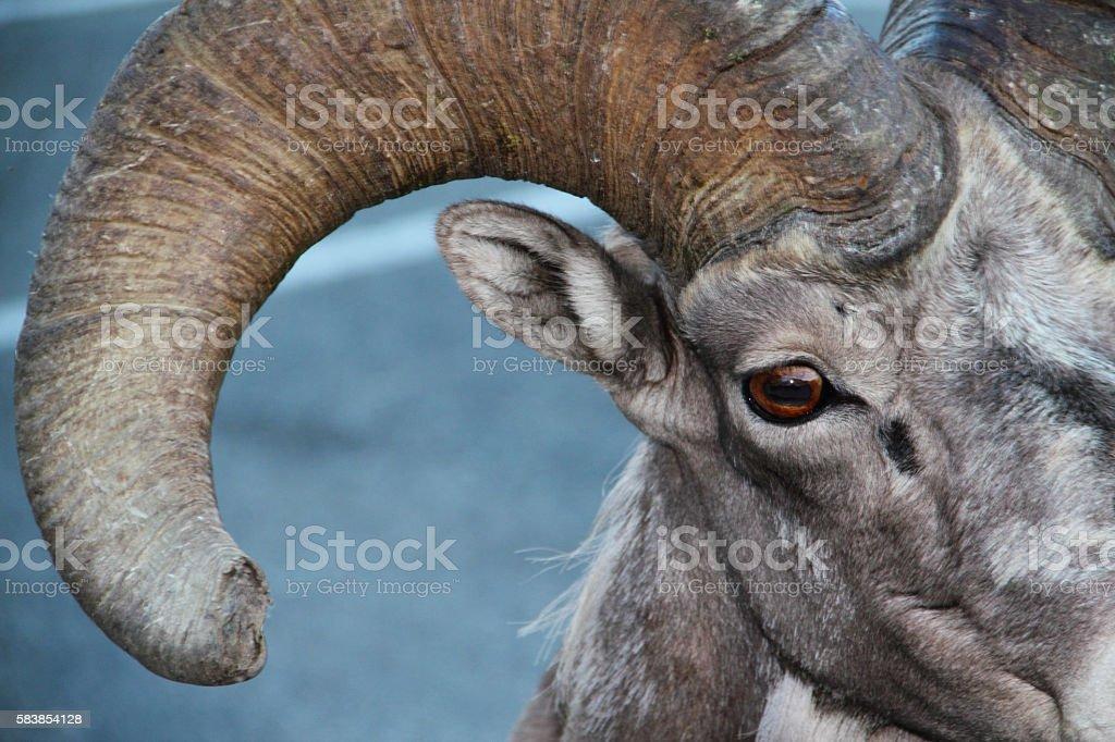 Bighorn Sheep Ram Eye Horn stock photo