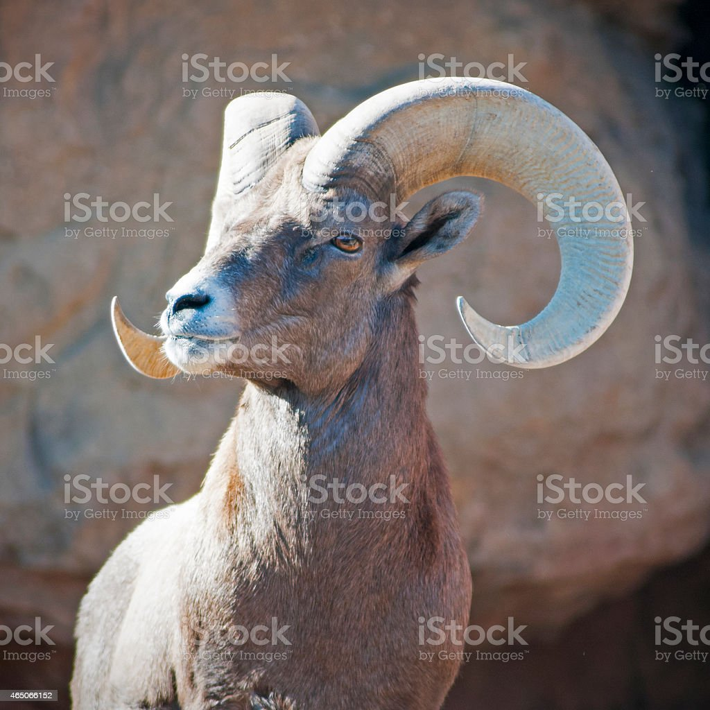 bighorn sheep ram  Ovis canadensis stock photo