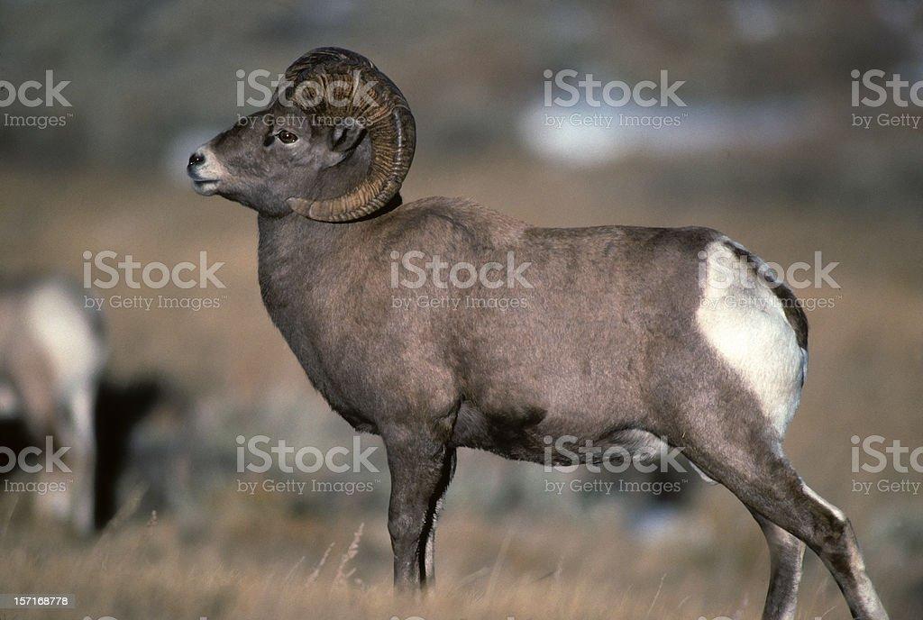 Bighorn sheep ram royalty-free stock photo