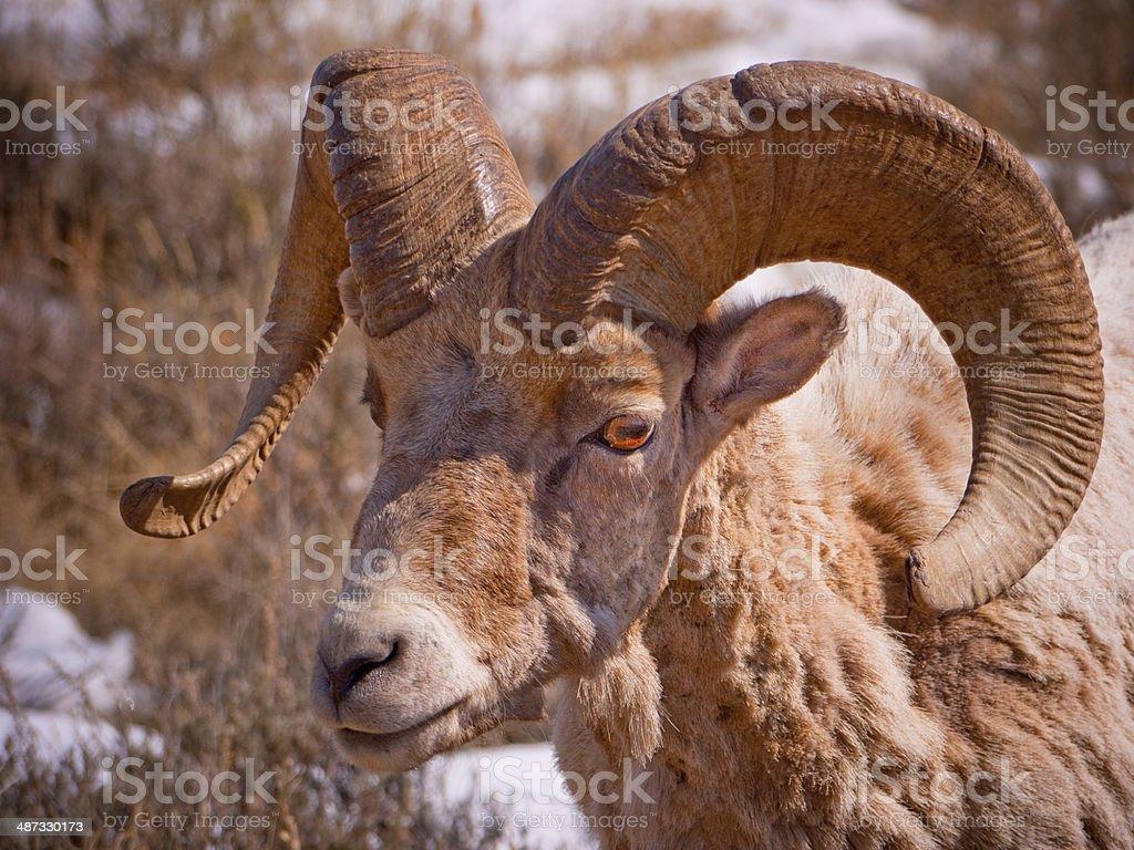 Bighorn Sheep Ram stock photo