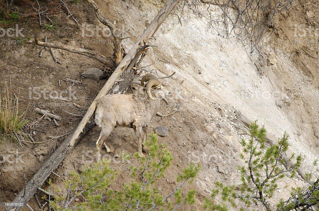 Bighorn Sheep Ram - Yellowstone National Park royalty-free stock photo