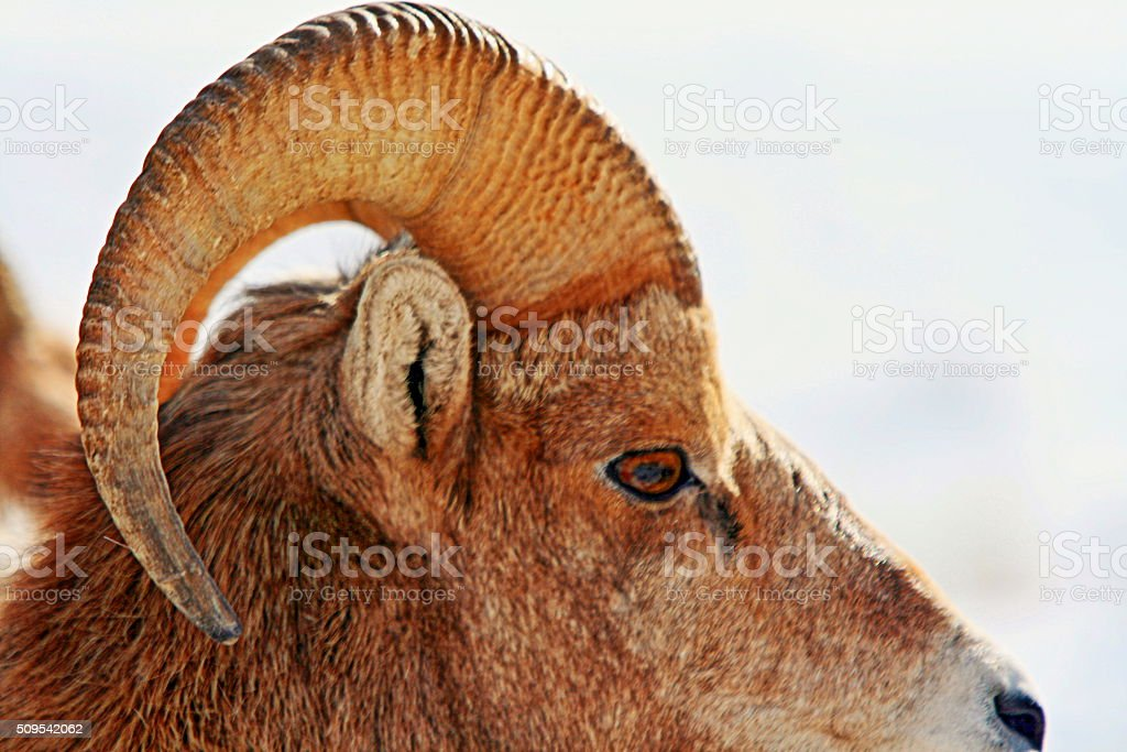 Bighorn Sheep Rams Horns stock photo