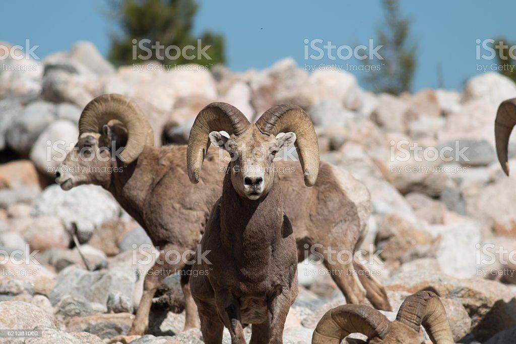 Bighorn sheep rams stock photo