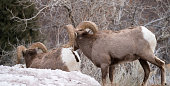 Bighorn sheep, rams, rear view