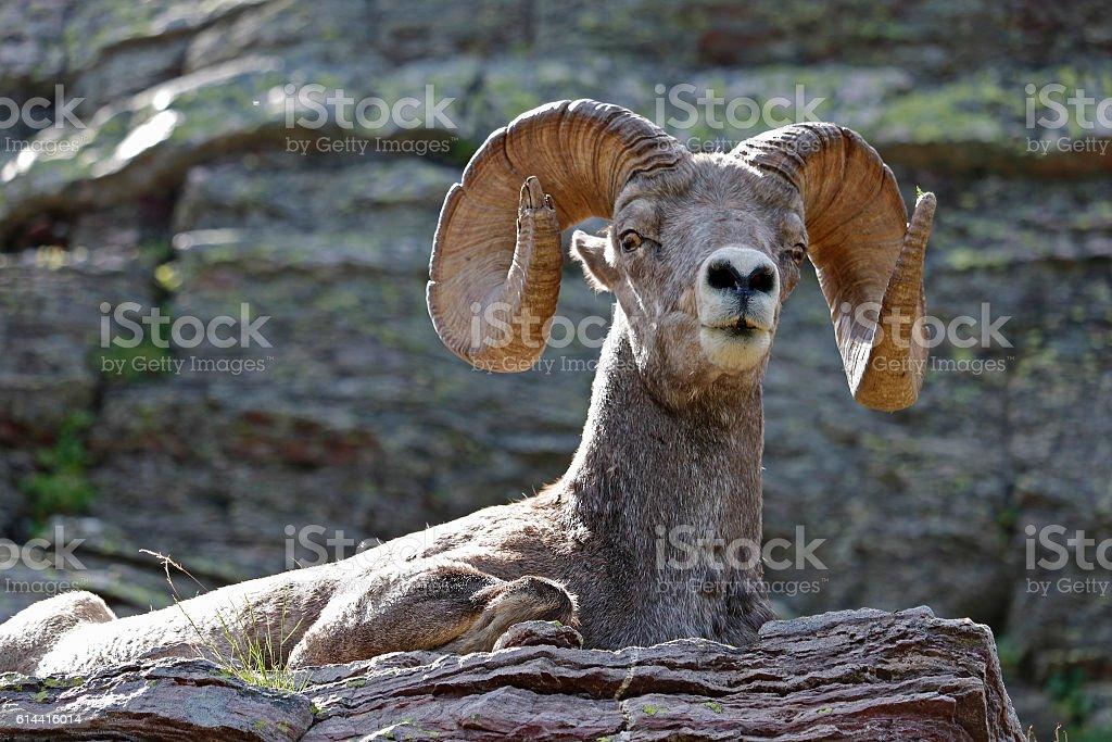 Bighorn Sheep resting on Ledge stock photo