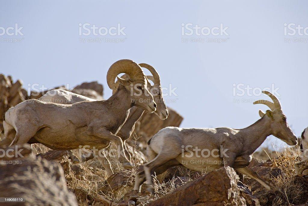 Bighorn Sheep running stock photo