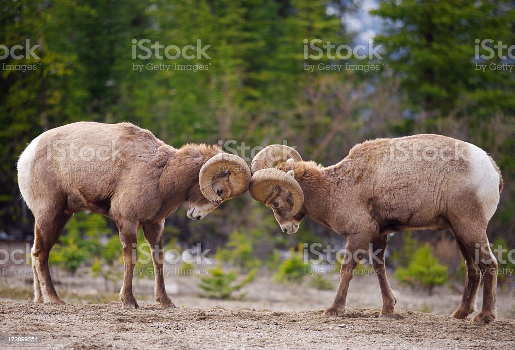 Bighorn Sheep sparring stock photo