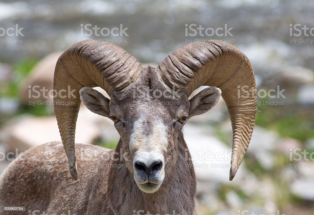 Bighorn sheep - stock image stock photo