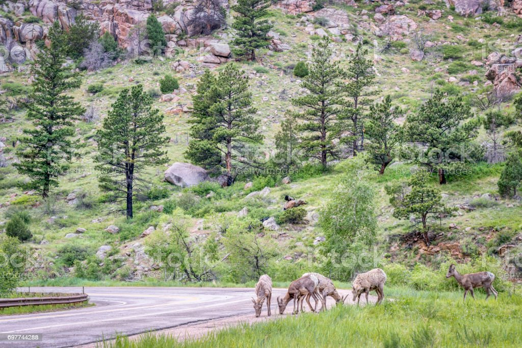 bighorn sheeps licking salt from a highway stock photo